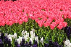 El campo de tulipanes hermosos rosados se cierra para arriba Tiempo de primavera en el jard?n de flores de Keukenhof, Pa?ses Bajo fotografía de archivo libre de regalías