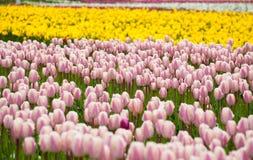 El campo de tulipanes se cierra para arriba Imagenes de archivo