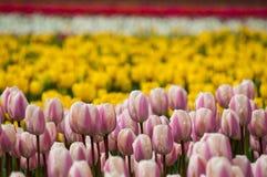El campo de tulipanes se cierra para arriba Imagen de archivo libre de regalías