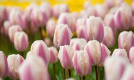 El campo de tulipanes se cierra para arriba Fotografía de archivo libre de regalías