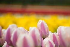 El campo de tulipanes se cierra para arriba Foto de archivo libre de regalías