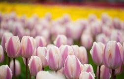 El campo de tulipanes se cierra para arriba Fotos de archivo