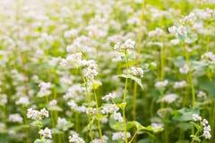 El campo del alforfón floreciente Foto de archivo libre de regalías