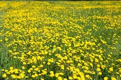 El campo del amarillo florece los dientes de león Fotos de archivo