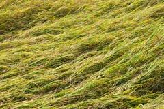 El campo del arroz cae abajo foto de archivo libre de regalías
