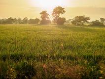 El campo del arroz de la mañana Fotografía de archivo