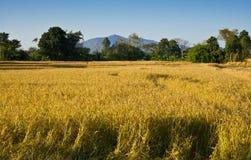 El campo del arroz en Tailandia foto de archivo
