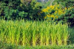 El campo del arroz en Tailandia Fotos de archivo libres de regalías