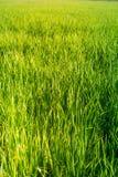El campo del arroz parece hierba verde imagen de archivo