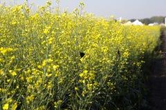 El campo del canola floreciente, atrae insectos Imágenes de archivo libres de regalías