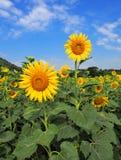 El campo del girasol con el cielo azul nublado y el sol brillante se enciende en Tailandia Imagen de archivo libre de regalías