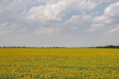 El campo del girasol con el cielo en el fondo Imágenes de archivo libres de regalías