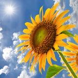 El campo del girasol contra el cielo azul y el sol se encienden Imagen de archivo libre de regalías