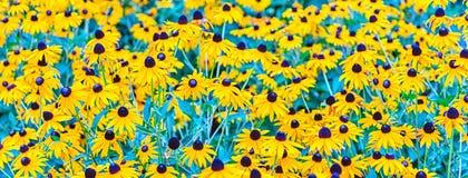 El campo del hirta, aka de negro-observar-Susan del Rudbeckia florece Fotos de archivo libres de regalías