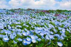 El campo del nemophila de los ojos de azules cielos florece durante la primavera en el parque de playa de Hitachi en Japón Fotos de archivo