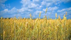 El campo del trigo almacen de metraje de vídeo