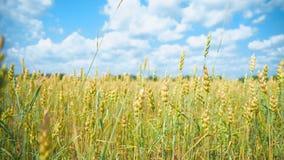 El campo del trigo almacen de video