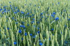 El campo del trigo con las flores azules del capo se mezcló con la paja verde foto de archivo libre de regalías