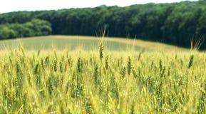 El campo del trigo de maduración está situado en un lugar acogedor hermoso Fotografía de archivo libre de regalías