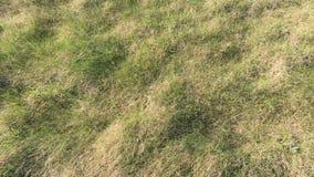 El campo del trigo joven Hierba verde del fondo Oídos verdes del trigo en campo Césped verde para el fondo almacen de metraje de vídeo