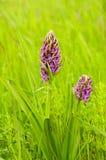 El campo del verano y de la primavera florece en la hierba Fotos de archivo libres de regalías