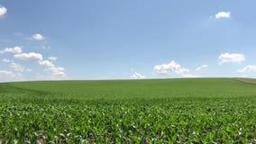 El campo en el cual se produce el maíz joven Paisaje agrícola verde almacen de metraje de vídeo