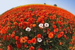 El campo enorme de ranúnculos rojos, anaranjados y blancos Foto de archivo