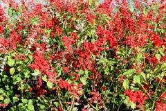 El campo es rojo con colores abigarrados brillantes. foto de archivo