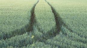 El campo hermoso con los campos de trigo verdes ajardina fotografía de archivo libre de regalías