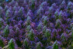 El campo interior de las plantas de marijuana médicas coloridas que son cultivadas para la atención sanitaria alternativa purpose imagen de archivo libre de regalías