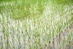 El campo más cultivest del arroz Imagen de archivo libre de regalías