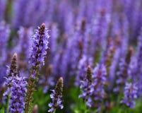 El campo por completo de la lavanda púrpura y azul brillante florece fotografía de archivo libre de regalías