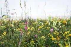 El campo salvaje florece en la estepa de Siberia Imágenes de archivo libres de regalías