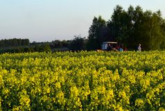 El campo tiene amarillo florecido Imágenes de archivo libres de regalías
