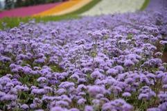 El campo violeta Foto de archivo libre de regalías