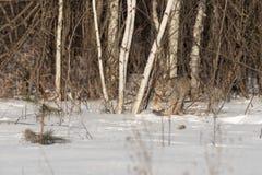 El canadensis canadiense del lince del lince acecha adelante Imagen de archivo