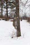 El canadensis canadiense del lince del lince mira detrás en el lado del árbol Imagen de archivo