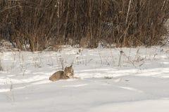 El canadensis canadiense del lince del lince se sienta en nieve Fotos de archivo