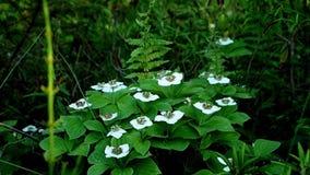 El canadensis del Cornus de las flores del Bunchberry o el cornejo del arrastramiento crece como wildflowers almacen de video