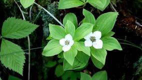 El canadensis del Cornus de las flores del Bunchberry o el cornejo del arrastramiento crece como wildflowers metrajes