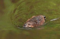 El canadensis norteamericano del echador del castor nada a través del agua Imágenes de archivo libres de regalías