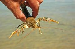 El cangrejo agarra de par en par Foto de archivo libre de regalías