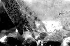 El cangrejo agarra el detalle en blanco y negro Foto de archivo libre de regalías