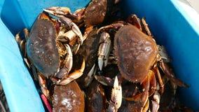 El cangrejo de Dungeness cogió por el pescador en compartimiento azul Fotografía de archivo
