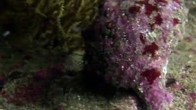 El cangrejo de ermitaño arrastra en sí mismo el submarino de la concha de berberecho en el fondo del mar en las Islas Galápagos almacen de video
