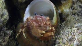El cangrejo de ermitaño, cambia recientemente la cáscara, él no se cabe le todavía almacen de metraje de vídeo