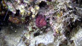 El cangrejo de ermitaño encuentra una cáscara agradable de la variación como casa para él en el Mar Rojo metrajes