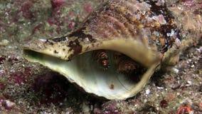 El cangrejo de ermitaño está ocultando en submarino de la concha marina en el fondo del mar en las Islas Galápagos almacen de video
