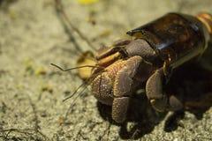 El cangrejo de ermitaño grande Paguroidea o el Soldado-cangrejo encontró el nuevo hogar en la botella de cristal quebrada La ecol Imagen de archivo