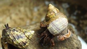 El cangrejo de ermitaño lucha para subir una roca almacen de video